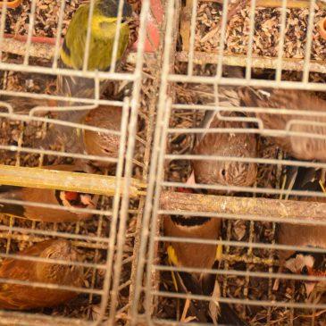 Zapljena strogo zaštićenih vrsta ptica