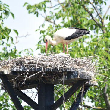 Zaustavimo ubijanje roda i ostalih ptica selica u Libanonu!