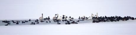 Poziv na Zimsko prebrojavanje ptica vodarica – siječanj 2018