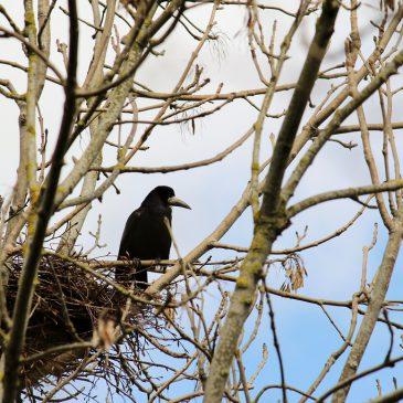 Poziv na prebrojavanje gnijezdećih kolonija gačaca