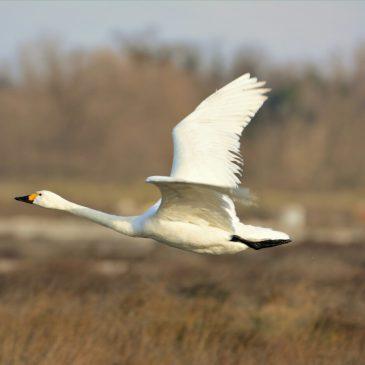 Rijetka vrsta mali labud (Cygnus columbianus) zabilježena na Ninskoj solani