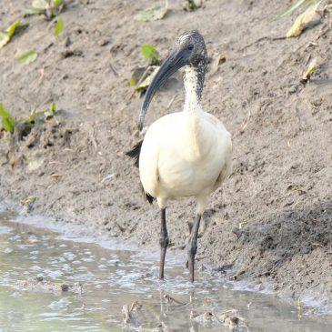 Nova vrsta ptice za Hrvatsku – afrički sveti ibis