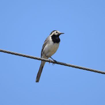 Kako pomiriti ptice i dalekovode? – dio prvi