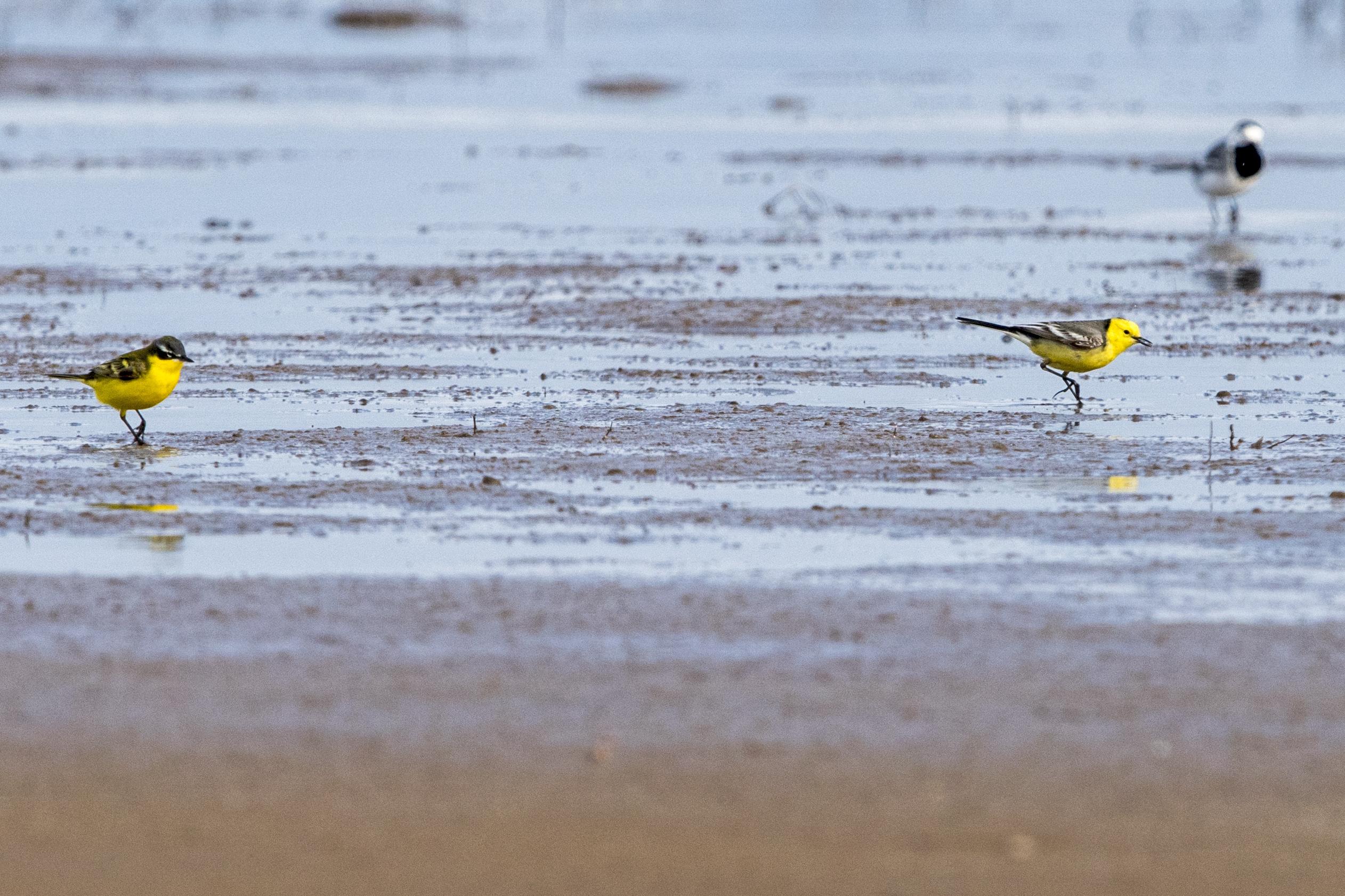 Limunasta pastirica (desna žuta ptica), žuta pastirica (ljeva žuta ptica), bijela pastirica (gore desno). Photo by: Peter Sackl.