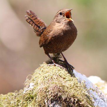 Kako klimatske promjene utječu na česte vrste ptica