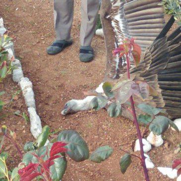 Trovali čagljeve pa ubili rijetkog supa | 24sata