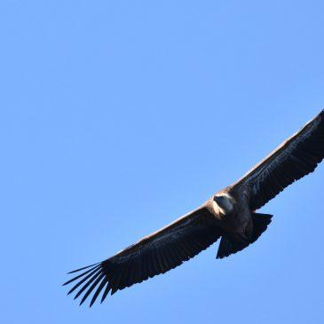 Bjeloglavi supovi i druge ptice na kvarnerskim otocima