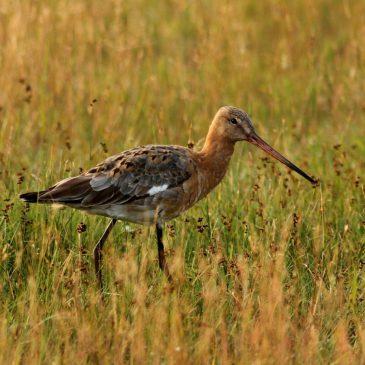 12 uspješnih priča iz zaštite ptica u 2018. | BirdLife
