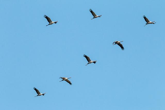 Pomaže li vjetar pticama tijekom seobe?